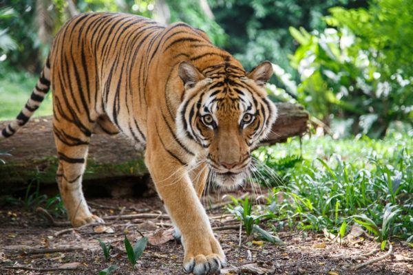 Animales peligro extincion deforestacion tigre