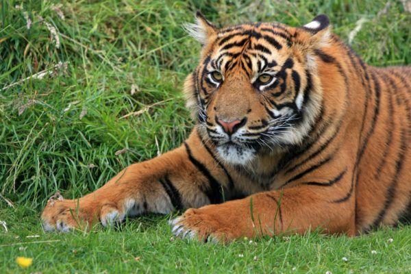 Animales peligro extincion deforestacion tigre sumatra