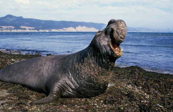 Animales que viven en la antartida El elefante marino 2