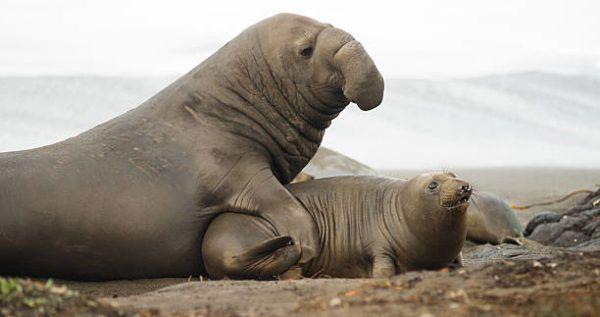 Animales que viven en la antartida El elefante marino