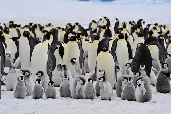 Animales que viven en la antartida El pingüino emperador