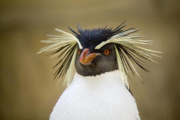 Animales que viven en la antartida El pingüino penacho amarillo