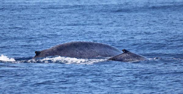 Animales que viven en la antartida La ballena azul 2