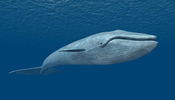 Animales que viven en la antartida La ballena azul