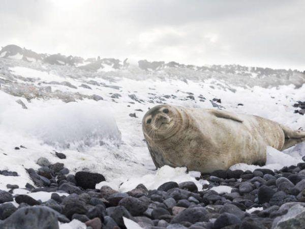 Animales que viven en la antartida La foca de Weddell