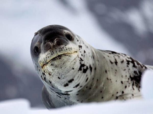 Animales que viven en la antartida La foca leopardo