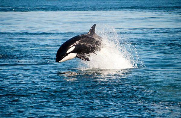 Animales que viven en la antartida orcas 2