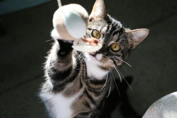 Dia internacional gato cuando es porque se celebra cuales son las formas celebrarlo