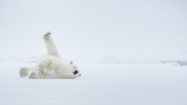 Osos polares dia del oso polar  2