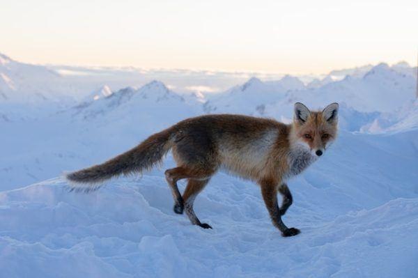 Tundra: Qué es, características, clima, tipos, fauna y flora zorro
