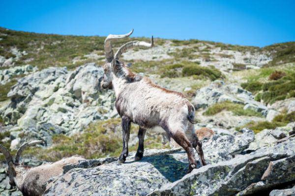 Cuales son los animales que se han extinguido por culpa del hombre en espana Bucardo