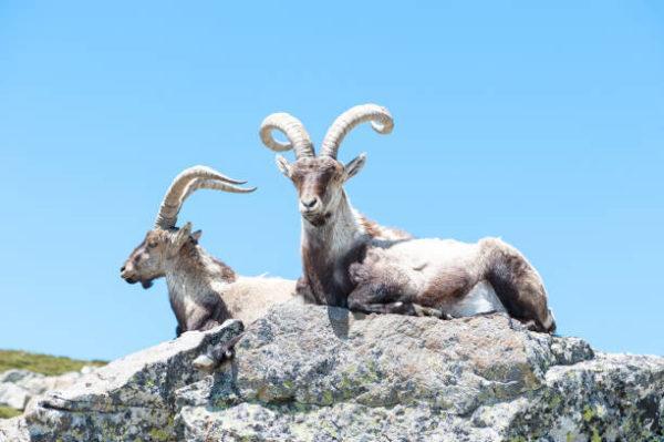 Cuales son los animales que se han extinguido por culpa del hombre en espana Bucardos
