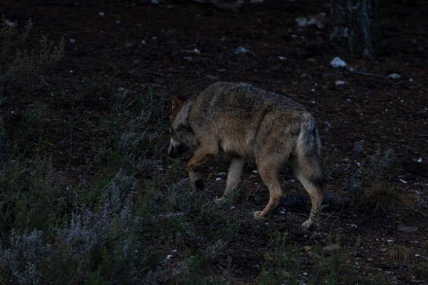 Cuales son los animales que se han extinguido por culpa del hombre en espana Lobo ibérico