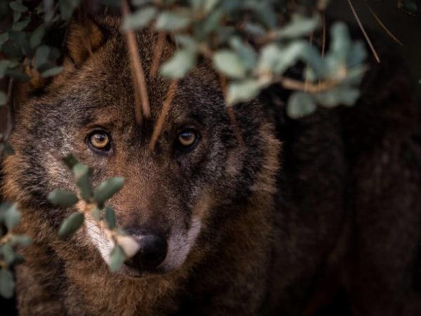Cuales son los animales que se han extinguido por culpa del hombre en espana Lobo ibérico levantino
