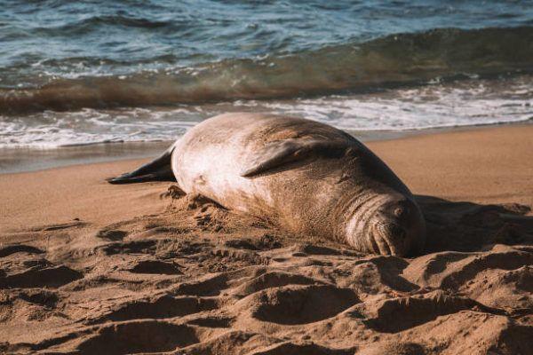 Cuales son los animales que se han extinguido por culpa del hombre en espana foca monje