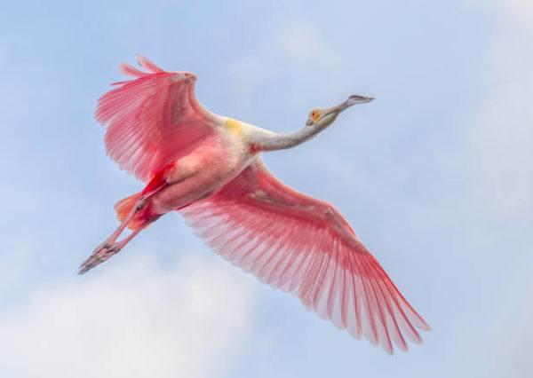 15 especies de pajaros con picos increibles Espátula rosada