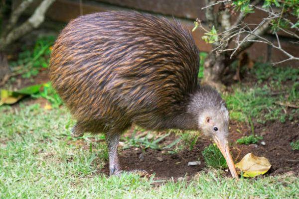 15 especies de pajaros con picos increibles kiwi