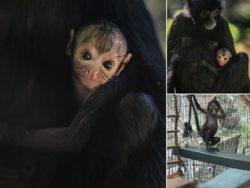 El raro Mono araña que ha nacido en el zoológico del Reino Unido | Fotos portada