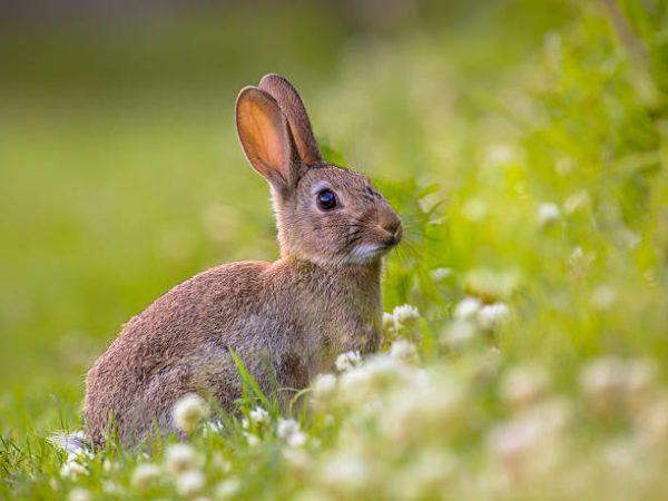 Por que los conejos salvajes ayudan a salvar ecosistemas 1