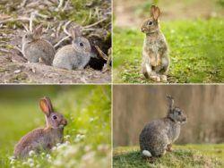 ¿Por qué Los conejos salvajes ayudan a salvar ecosistemas?