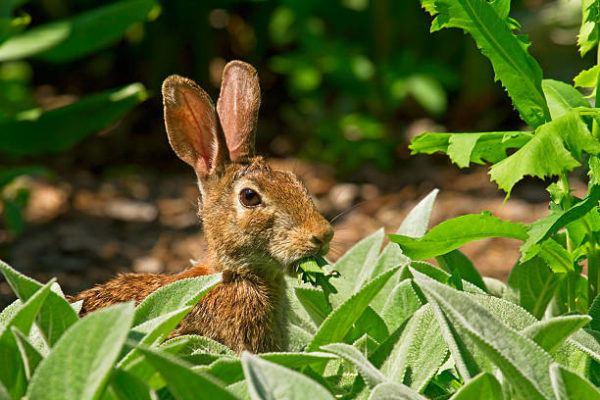 Por que los conejos salvajes ayudan a salvar ecosistemas
