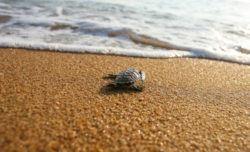 Por que tortugas carey estan en peligro de extincion