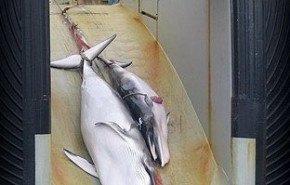 Publican fotos de las matanzas de ballenas minke realizadas por Japón