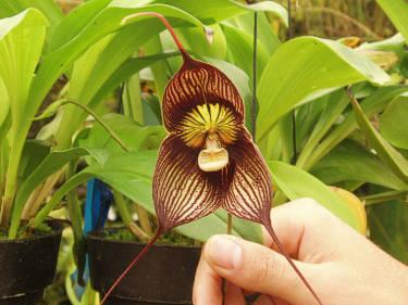 Orquidea Dracula, foto por Jeff Dooley, en Flickr