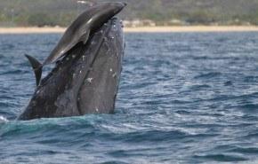 El delfín que salvó a dos ballenas