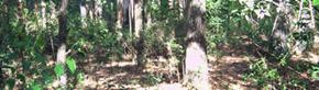 Talan 80 hectáreas de bosque nativo para plantar eucaliptos (?)