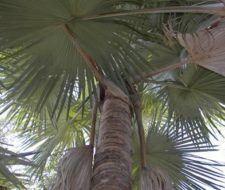 La palmera suicida de Madagascar
